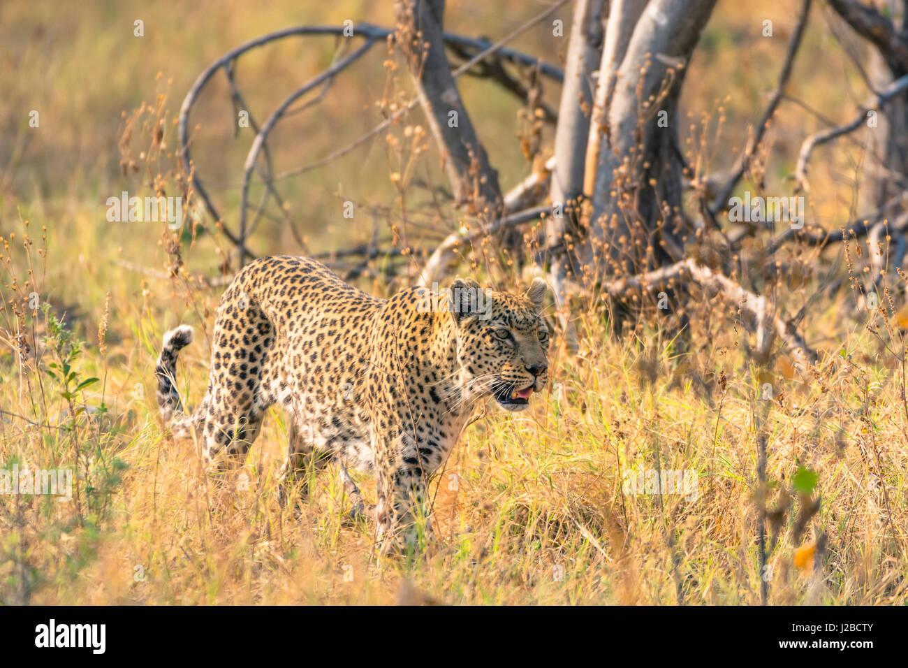 Botswana. Okavango Delta. Khwai Concession. Female leopard (Panthera pardus) in the tall grass. - Stock-Bilder
