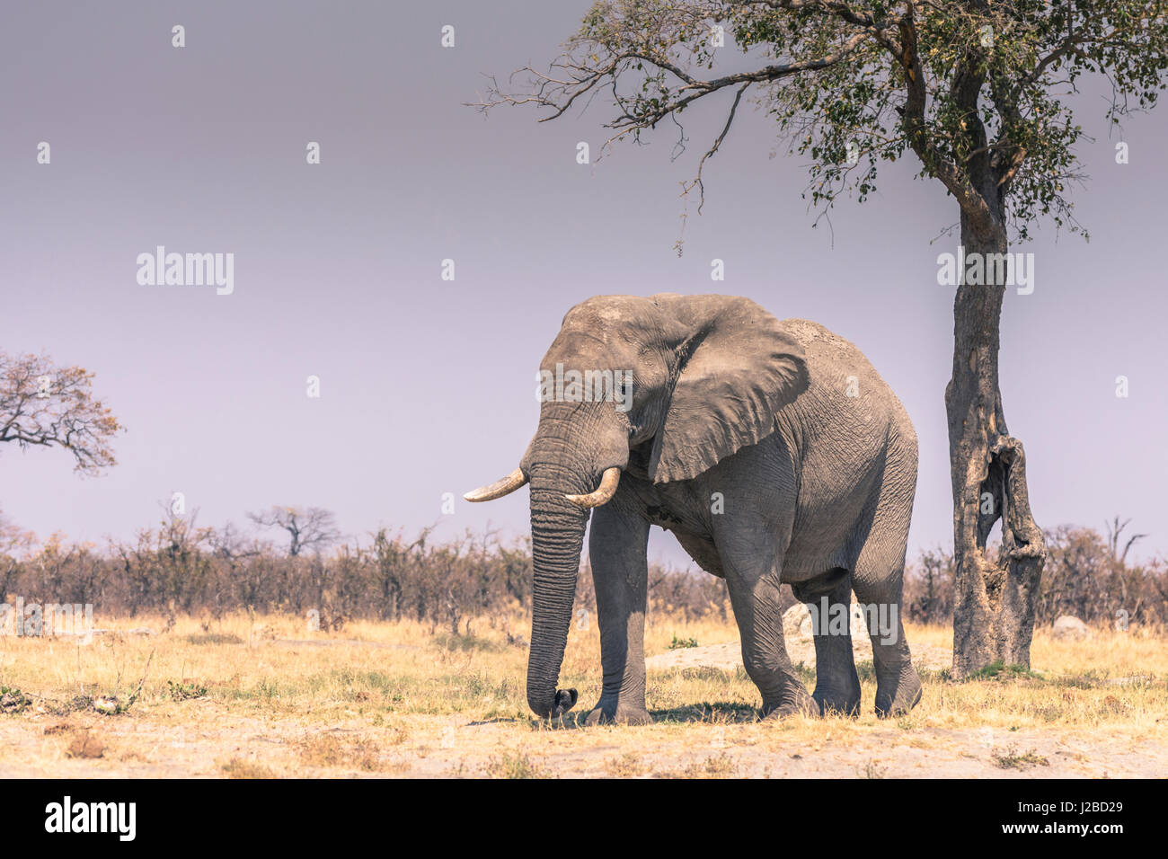 Botswana. Chobe National Park. Savuti. Elephant (Loxodonta africana) walking towards a water hole. - Stock-Bilder