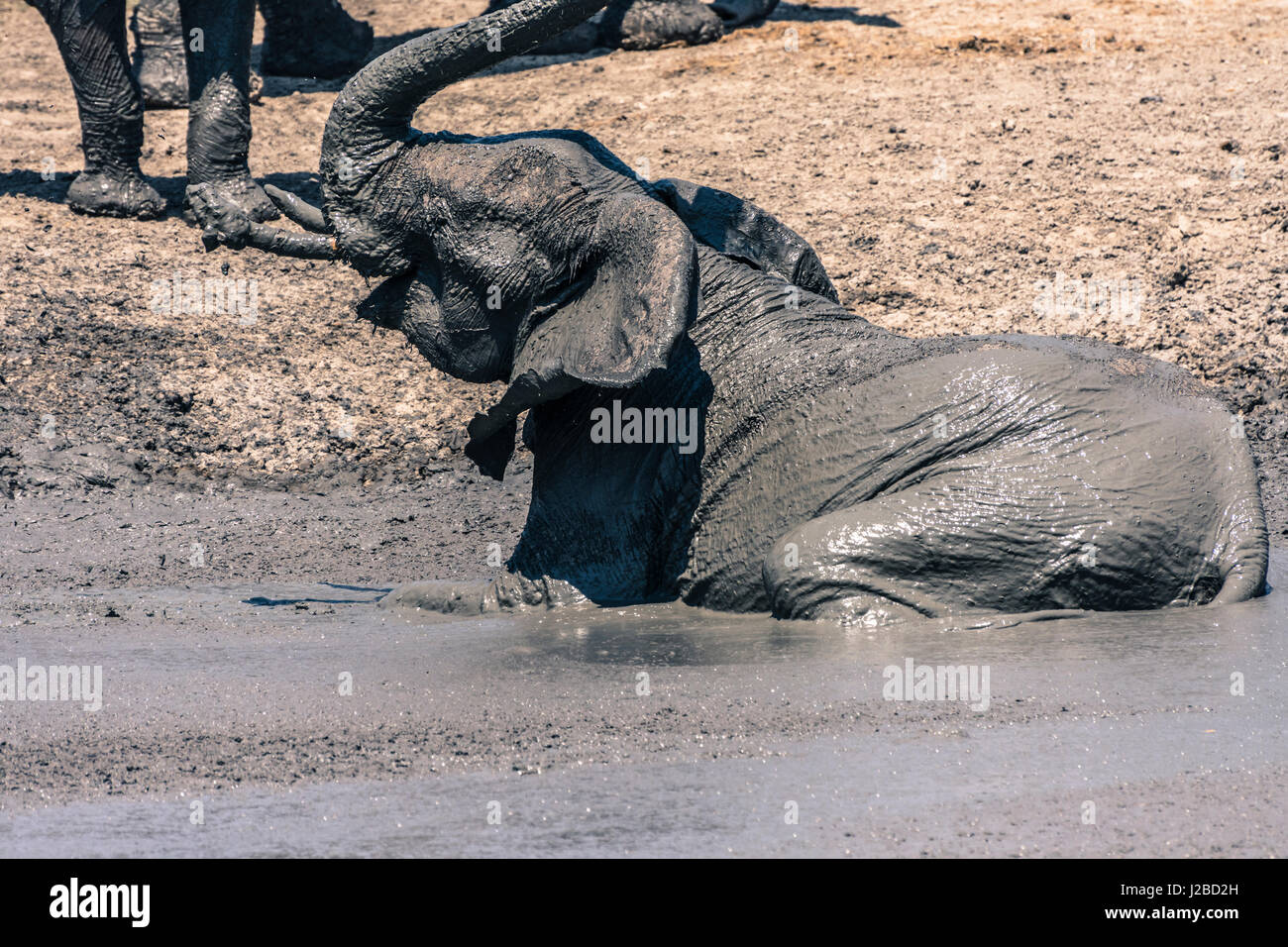Botswana. Chobe National Park. Savuti. Elephants (Loxodonta africana) throwing mud on themselves at a mud hole. - Stock-Bilder