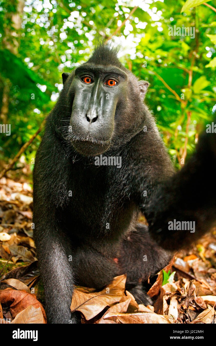 Asia, Indonesia, Sulawesi. Crested black macaque male adult portrait. This is also known as monkey selfie because - Stock Image