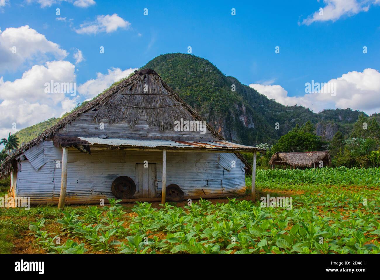 Cuba. Pinar del Rio. Vinales. Barn surrounded by tobacco fields. - Stock-Bilder