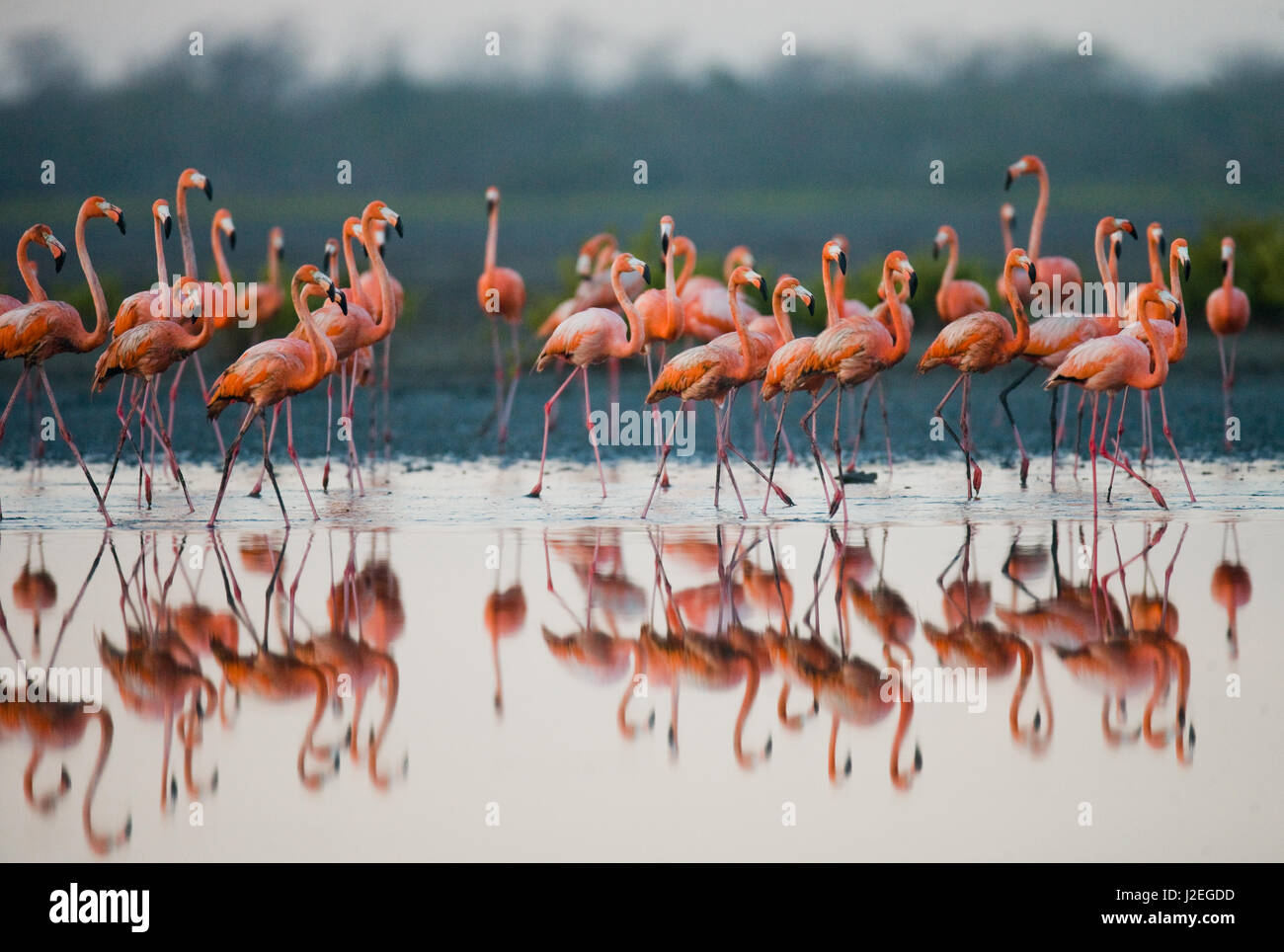 Caribbean flamingo standing in water with reflection. Cuba. An excellent illustration. - Stock Image