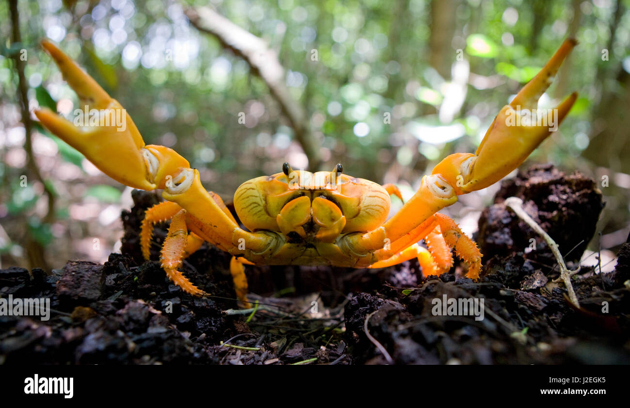 Land crab spread its claws. Cuba. An excellent illustration. Unusual angle. - Stock Image