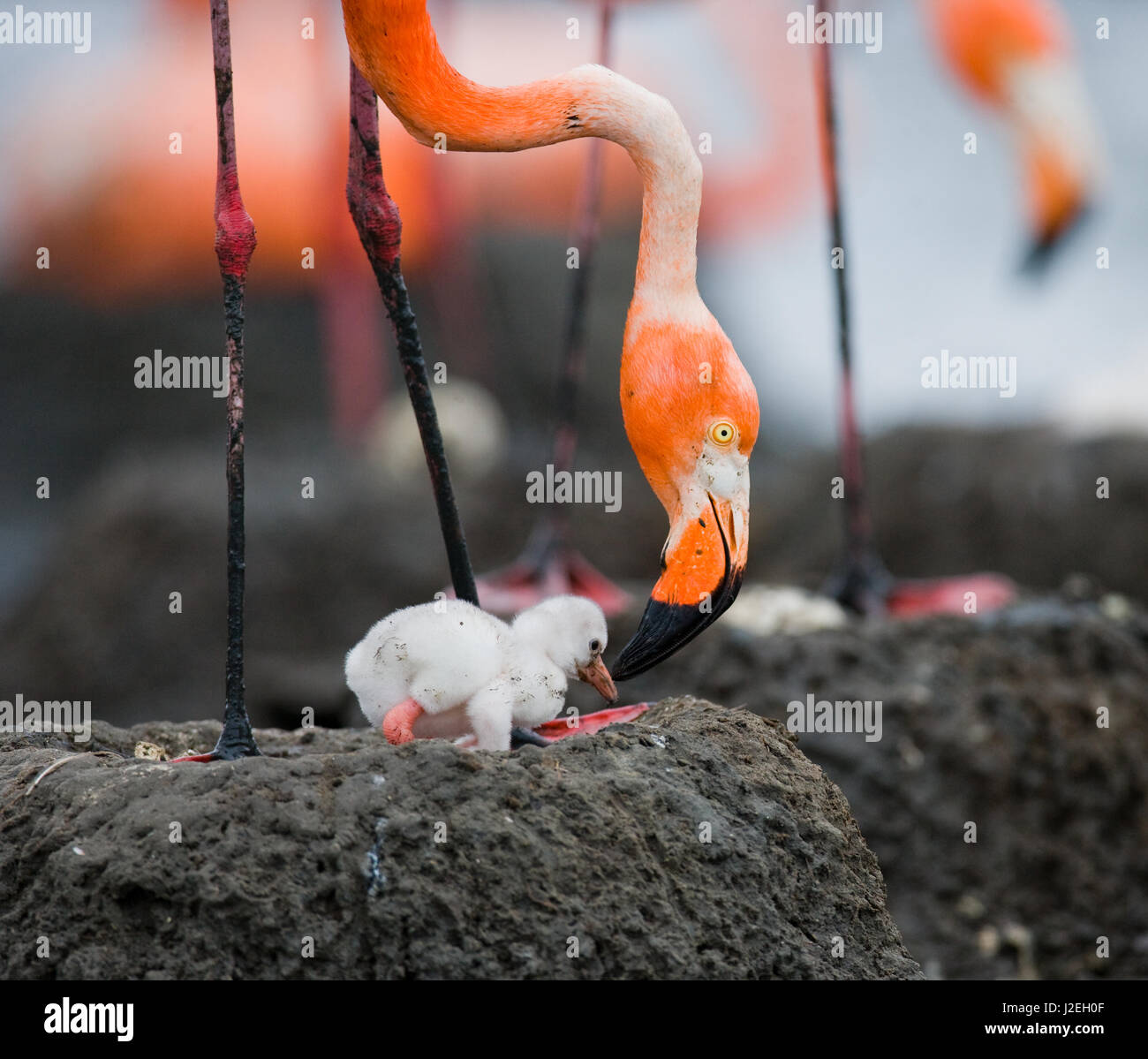 Caribbean flamingo on a nest with chicks. Cuba. An excellent illustration. - Stock Image