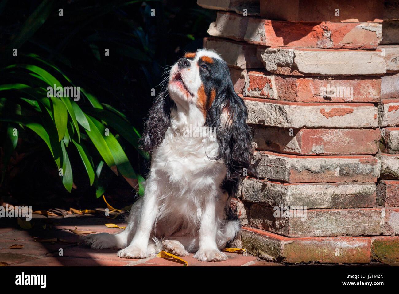Cavalier King Charles Spaniel puppy - Stock-Bilder