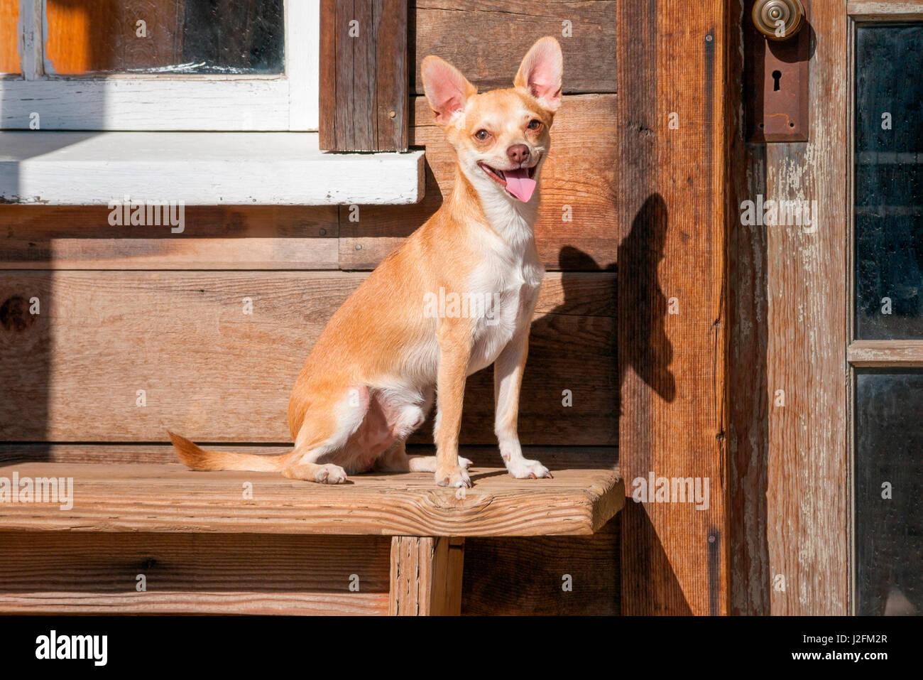Chihuahua looking - Stock-Bilder