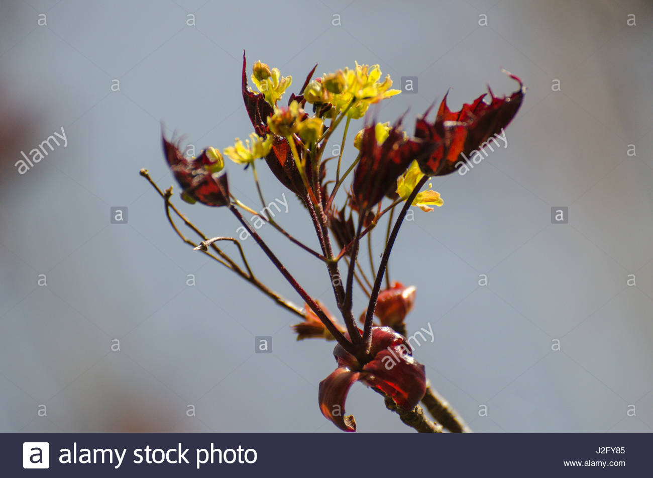 First leaves on the Maple tree, Acer platanoides 'Schwedleri' - Stock Image