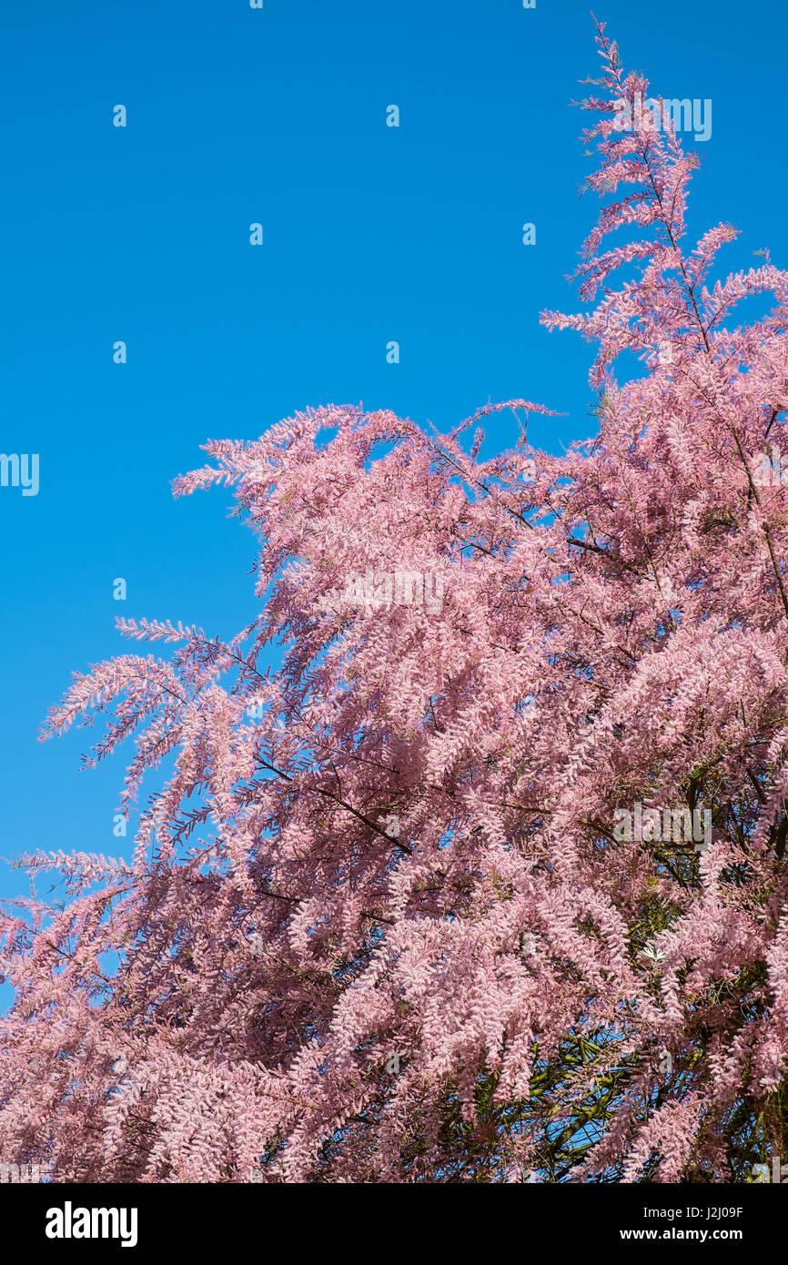 Tamarisk (Tamarix gallica) in full flower - France. - Stock Image