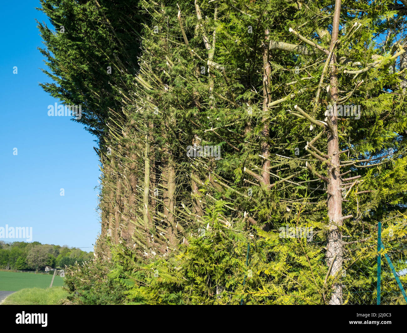 Evergreen trees heavily pruned along roadside. - Stock Image