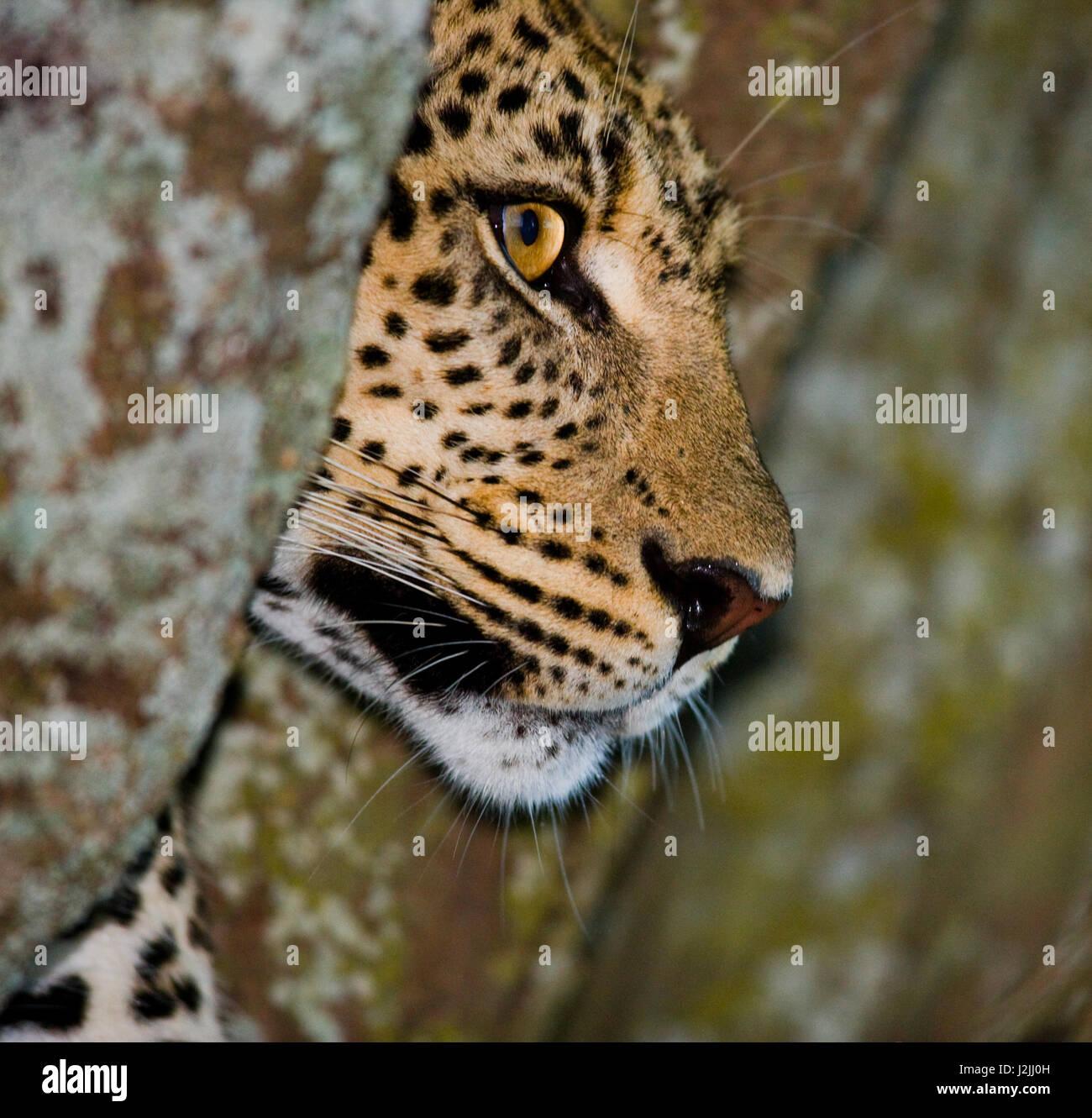 Leopard looks out from behind a tree. National Park. Kenya. Tanzania. Maasai Mara. Serengeti. An excellent illustration. - Stock Image