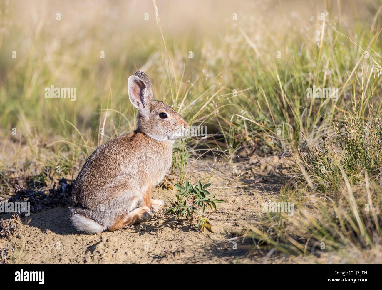 USA, Wyoming, Sublette County, Cottontail Rabbit - Stock-Bilder