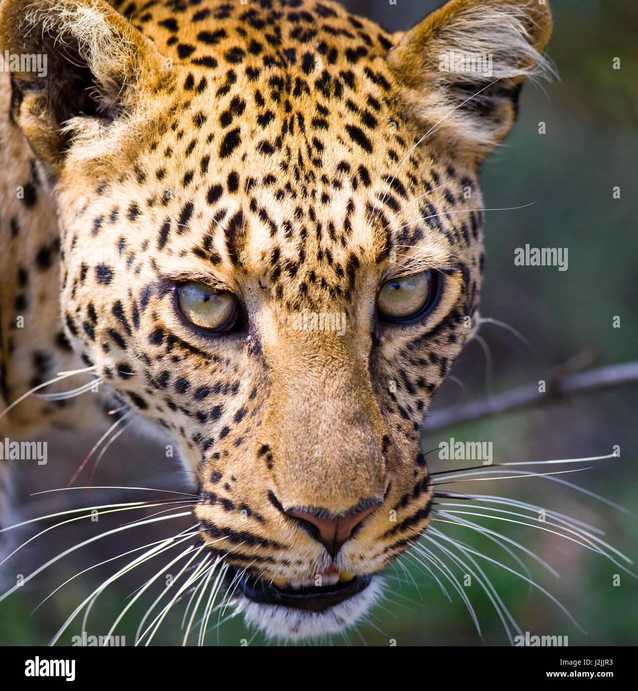 Portrait of Leopard. Close-up. National Park. Kenya. Tanzania. Maasai Mara. Serengeti. An excellent illustration. - Stock Image