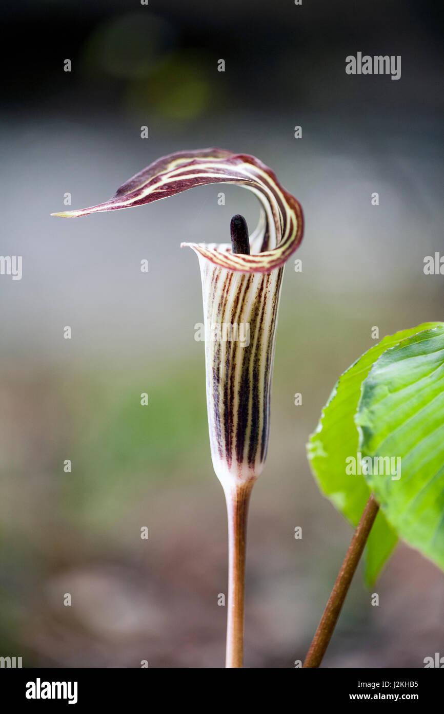 Jack-in-the-Pulpit (Arisaema triphyllum) - Pisgah National Forest, near Brevard, North Carolina, USA - Stock Image