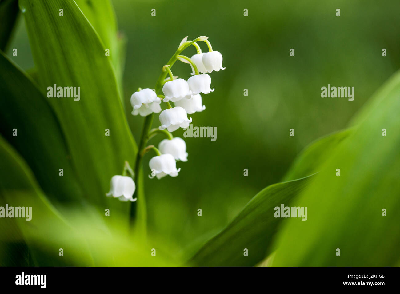 Lily of the Valley (Convallaria majalis) - North Carolina Arboretum, Asheville, North Carolina, USA - Stock Image