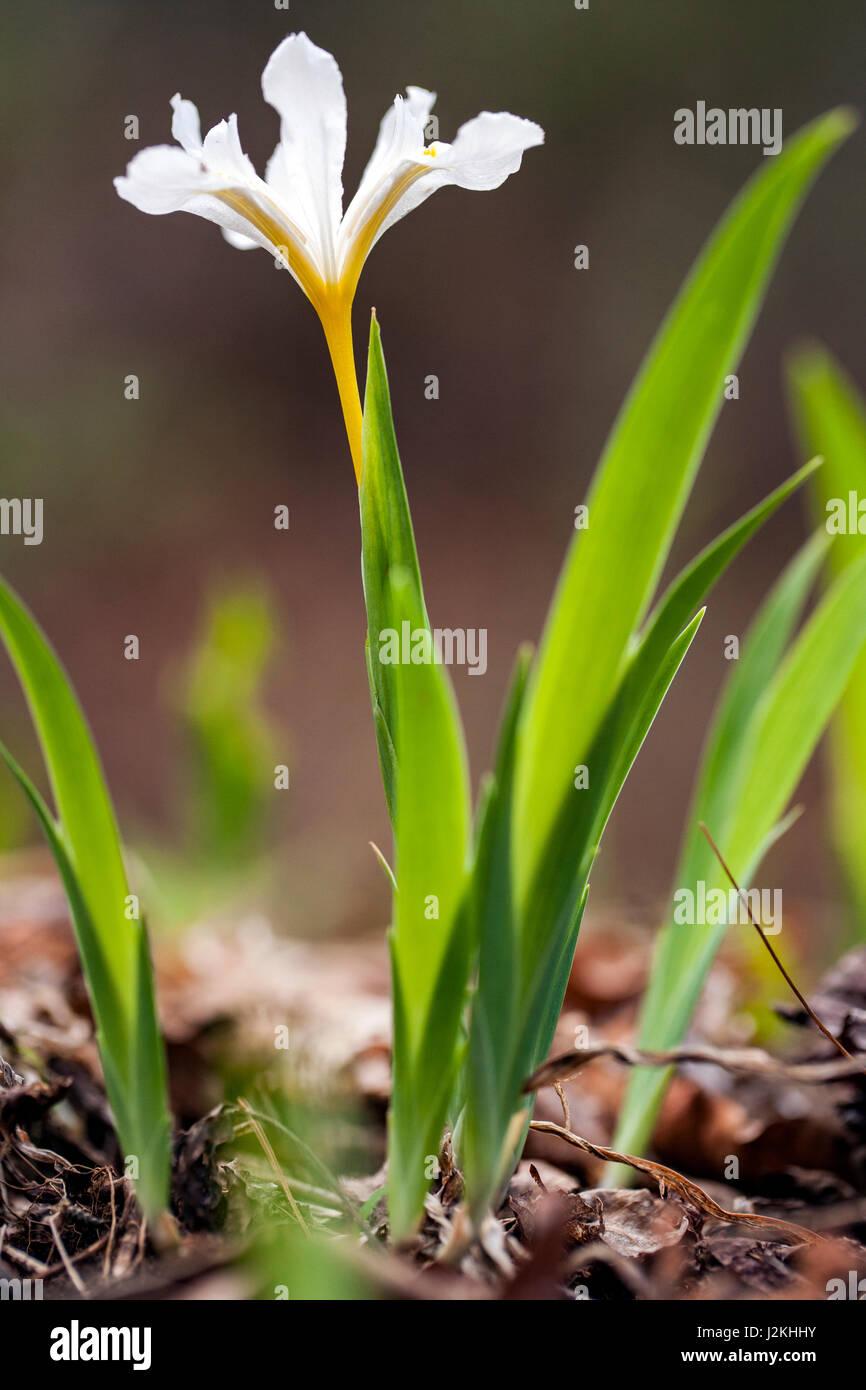 Dwarf Crested Iris - Pisgah National Forest, near Brevard, North Carolina, USA - Stock Image