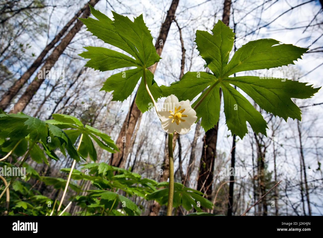 Mayapple (Podophyllum peltatum) - Holmes Educational State Forest, Hendersonville, North Carolina, USA - Stock Image