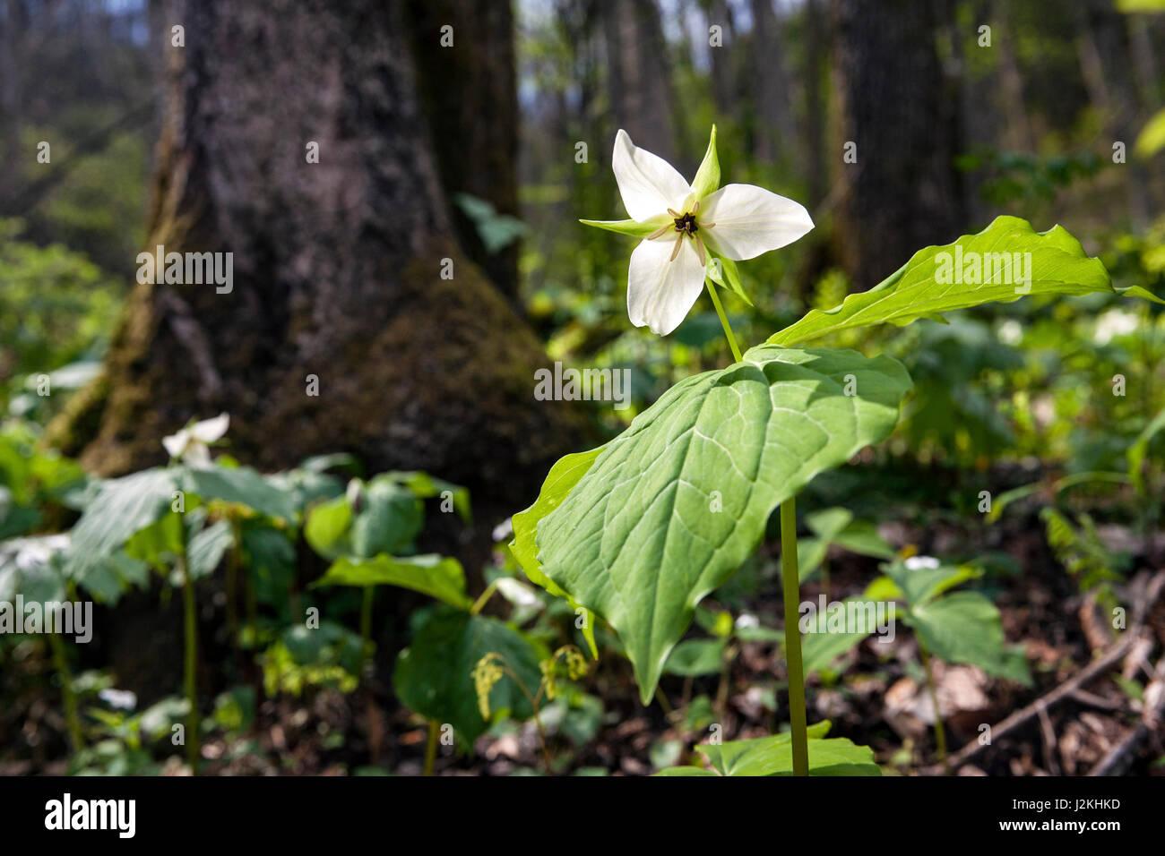 White Trillium (Shallow DOF) - Holmes Educational State Forest, Hendersonville, North Carolina, USA - Stock Image