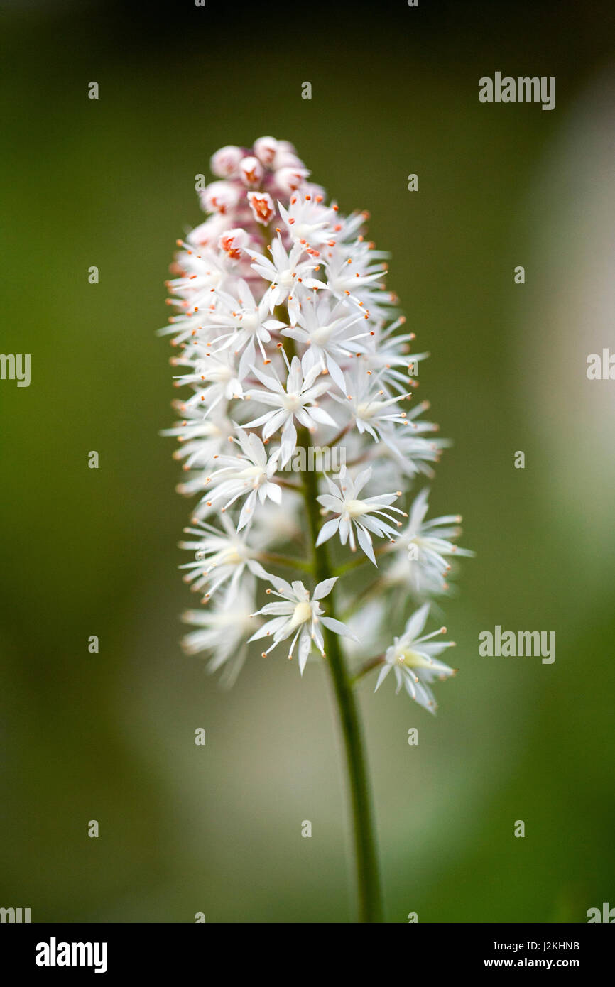 Foamflower (Tiarella cordifolia) Pisgah National Forest - Brevard, North Carolina, USA - Stock Image