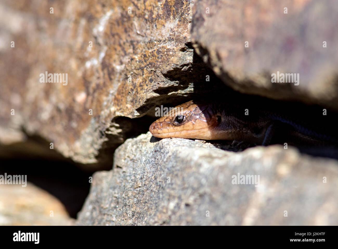 Five-lined Skink (Plestiodon fasciatus) - North Carolina Arboretum, Asheville, North Carolina, USA - Stock Image