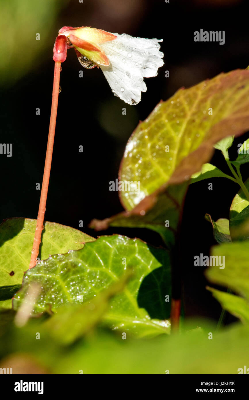 Oconee Bells (Shortia galacifolia) - Holmes Educational State Forest, Hendersonville, North Carolina, USA - Stock Image