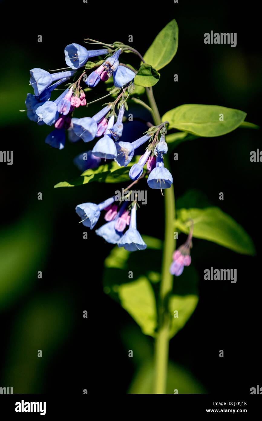 Virgina Bluebells (Mertensia virginica) - North Carolina Arboretum, Asheville, North Carolina, USA - Stock Image