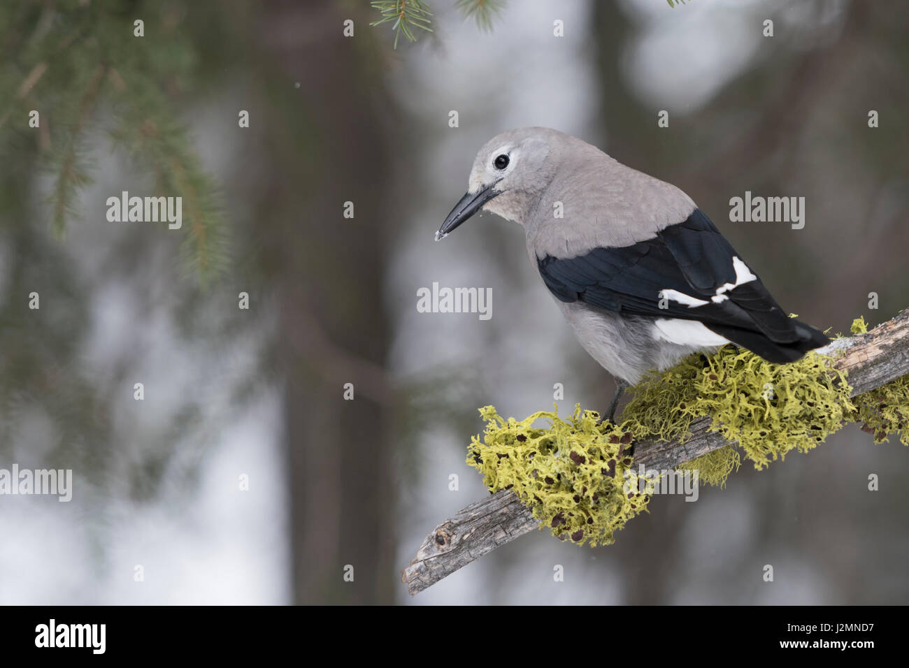 Clark's Nutcracker / Kiefernhäher ( Nucifraga columbiana ) in winter, in natural surrounding, nice backside - Stock Image