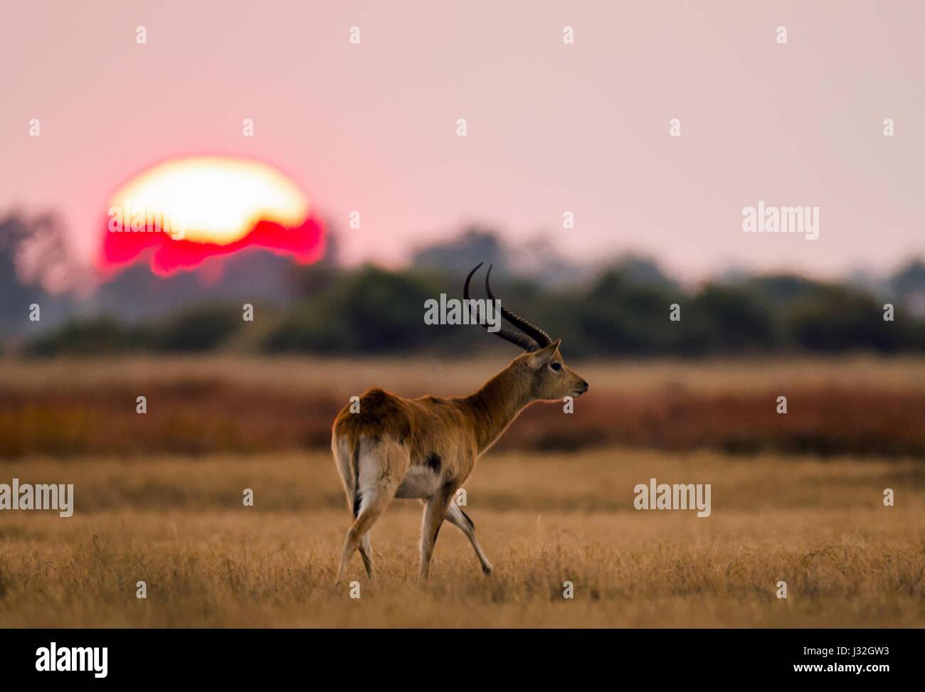 Antelope standing against the background of a large of sunrise sun. Botswana. Okavango Delta. An excellent illustration. - Stock Image