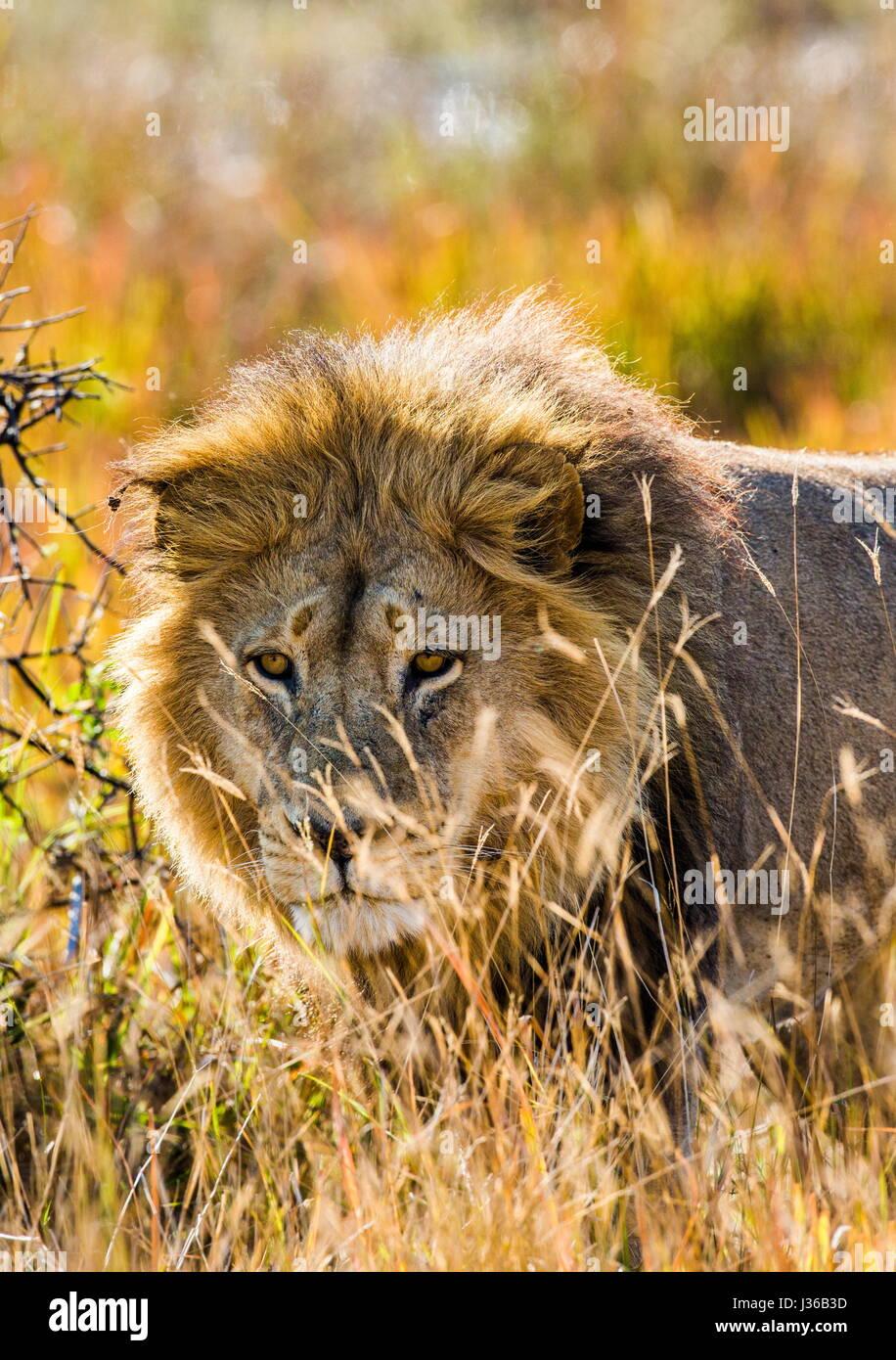 Lion in the grass. Okavango Delta. An excellent illustration. - Stock Image