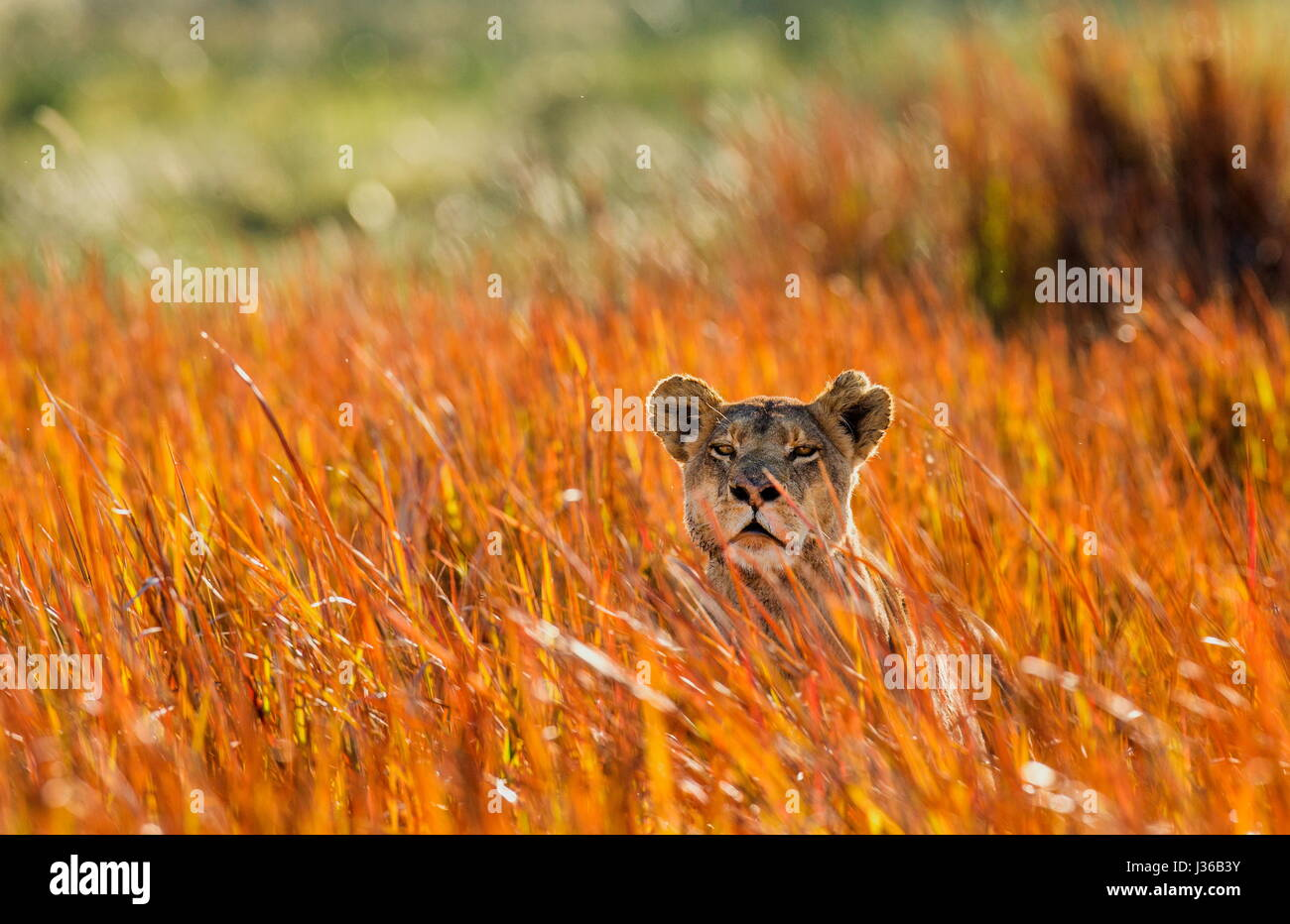 Lioness lying on the ground. Okavango Delta. An excellent illustration. - Stock Image