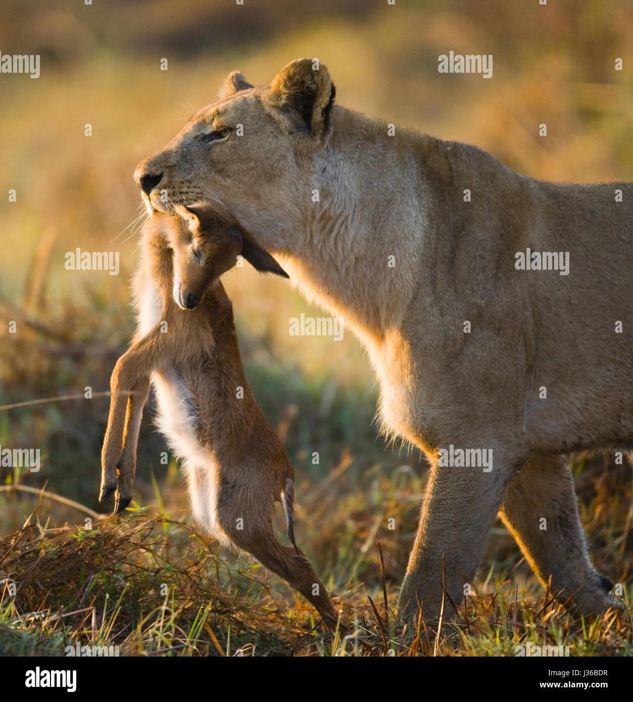 Lioness with prey. Botswana. Okavango Delta. An excellent illustration. - Stock Image