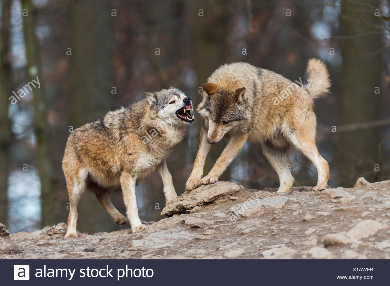 Male Leader Of The Pack Alpha Wolf Rebuke Of A Young: Snarling On