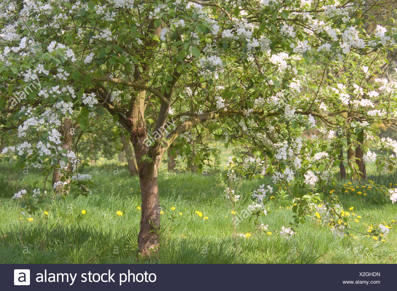 Apple tree malus domestica in stock photos apple tree for Domestica in svizzera