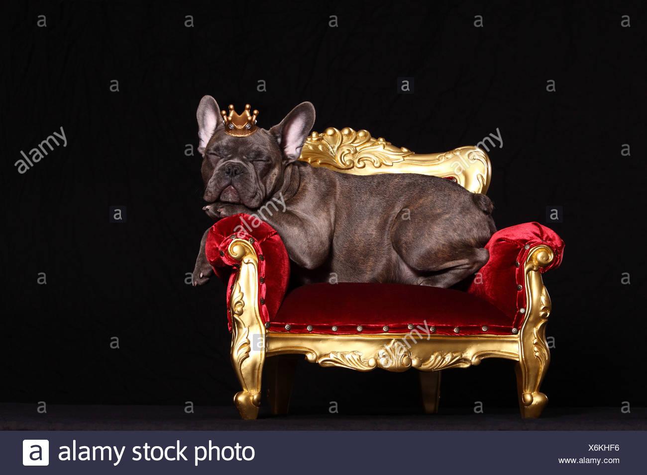 dog crown stock photos dog crown stock images alamy. Black Bedroom Furniture Sets. Home Design Ideas