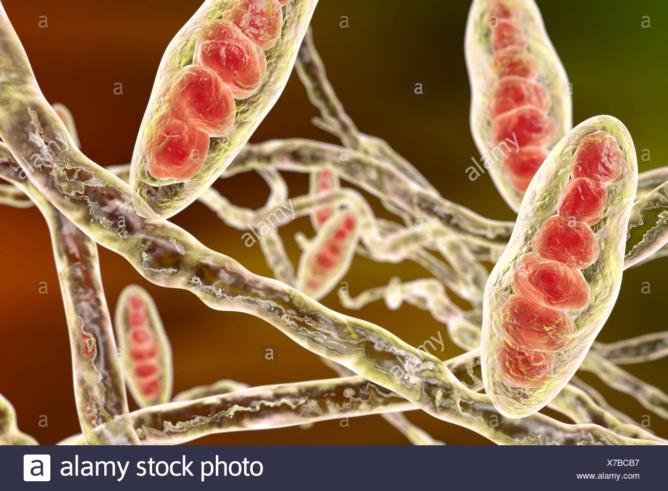 Fungus hyphae stock photos fungus hyphae stock images - Can ringworm spread in a swimming pool ...