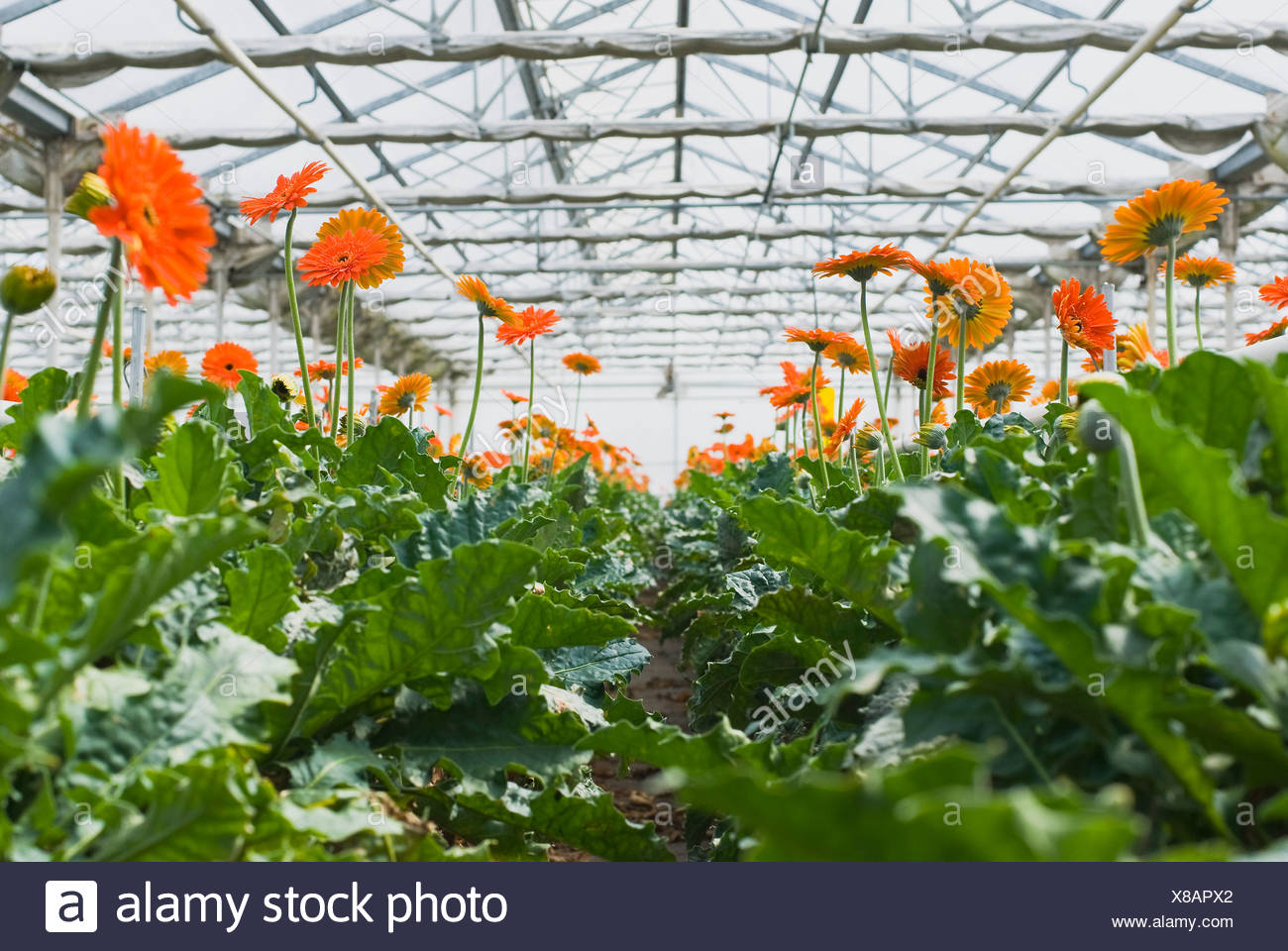 how to grow in a greenhouse