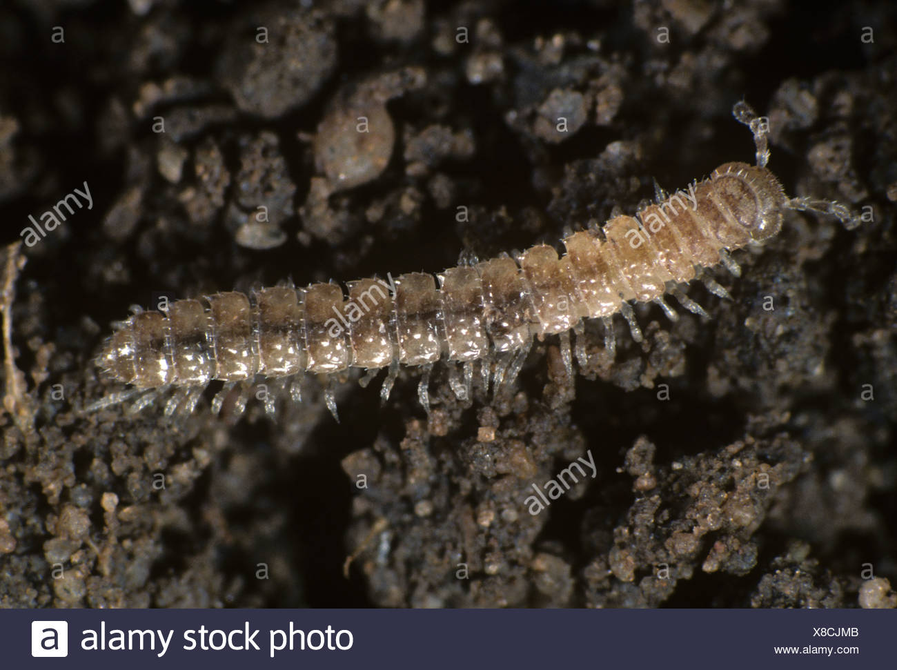 Millipede stock photos millipede stock images alamy for Soil zoology