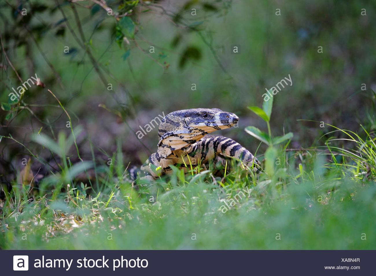 variegated lizard Varanus varius syn V Varanus varius V