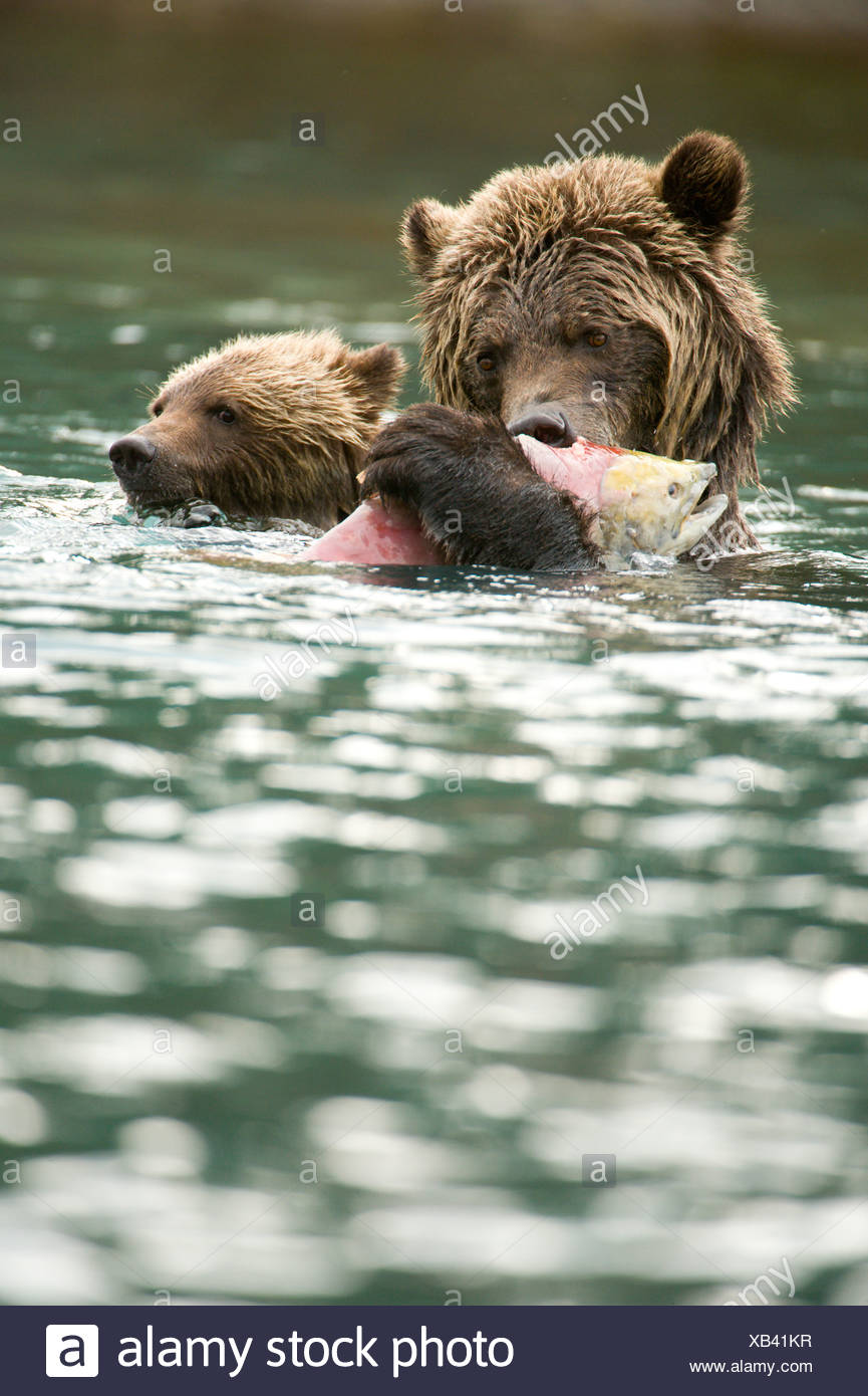grizzly bear adult swim