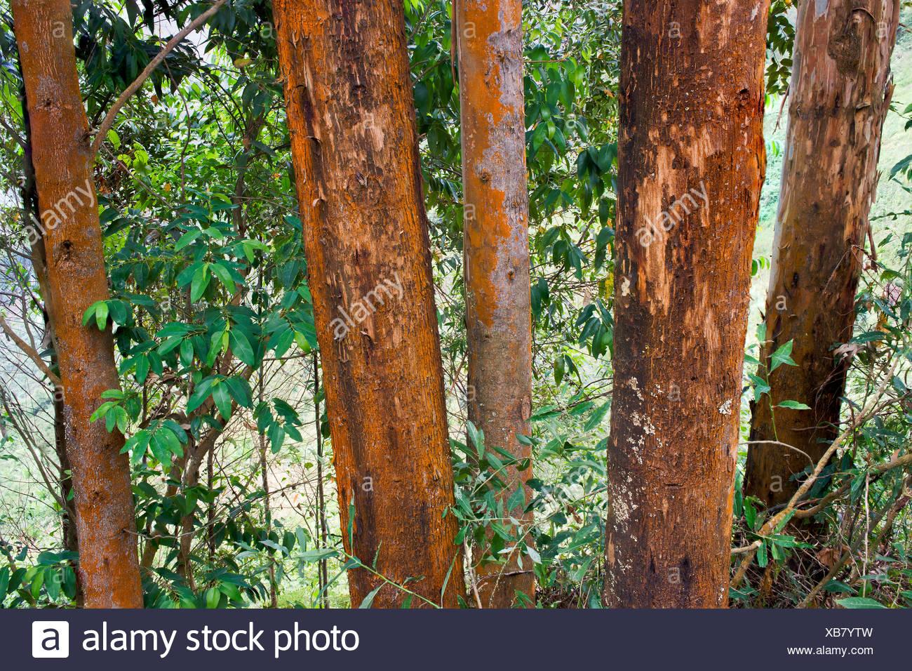 Eucalyptus Trees Africa Stock Photos & Eucalyptus Trees