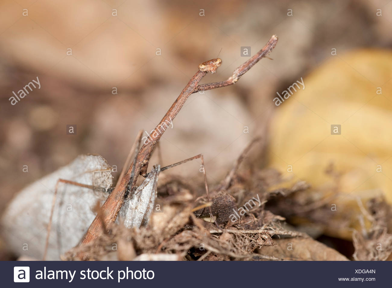 a description of the mantodea or praying mantids Competition known for praying mantid systems  a more detailed description of  mating trial methodology, see barry et al (2008, 2009)  morphology and  ecology in two praying mantids (insecta: mantodea) biological.