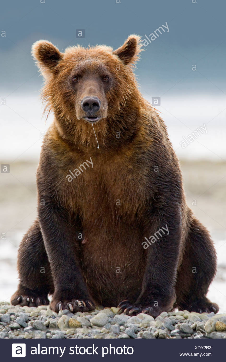 Grizzly bear sitting up - photo#34