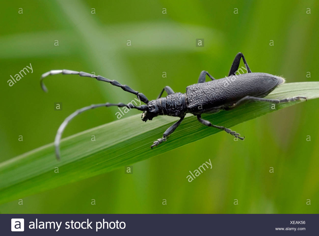great capricorn beetle stock photos great capricorn beetle stock images alamy. Black Bedroom Furniture Sets. Home Design Ideas