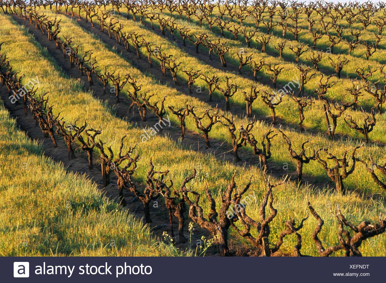 Vineyard Shenandoah Valley County California Stock Photos