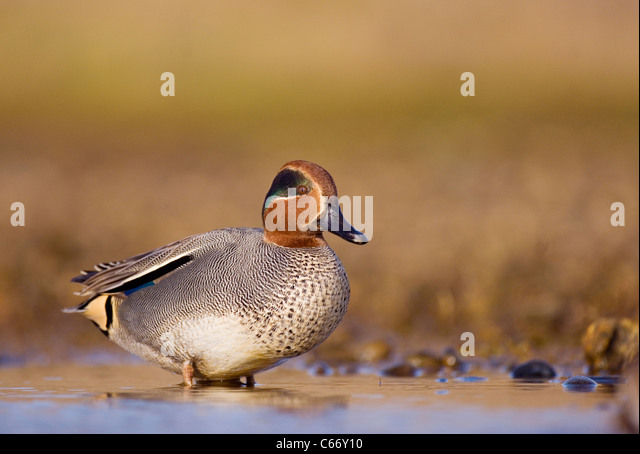 TEAL Anas crecca Profile of an adult male in a shallow coastal lagoon. Norfolk, UK. Photographer.Andrew Parkinson - Stock-Bilder