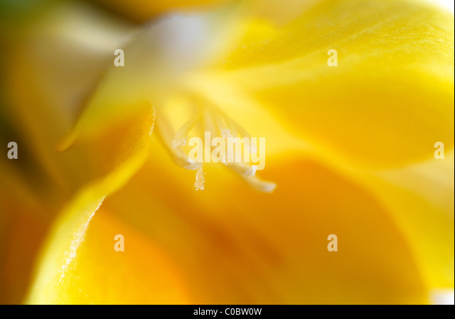 Yellow flower, close-up, macro, yellow pollen, pollen, stamen, yellow petals, sunshine yellow, flower - Stock Image