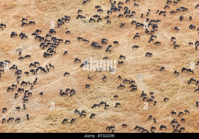 Aerial view of the Wildebeest migration. Up to 1.5 million wildebeest move through the Mara/Serengeti each year. - Stock Image