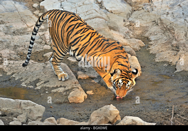 Tiger near a rocky water hole in Ranthambhore national park - Stock Image