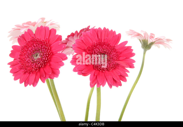 Pink Gerber flowers in closeup over white background - Stock Image
