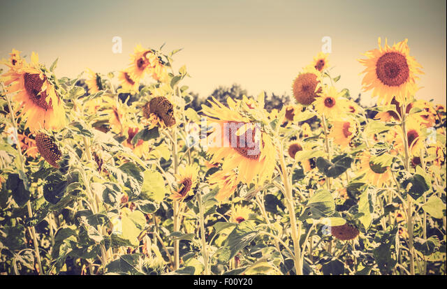 Retro vintage toned nature background made of sunflowers. - Stock Image