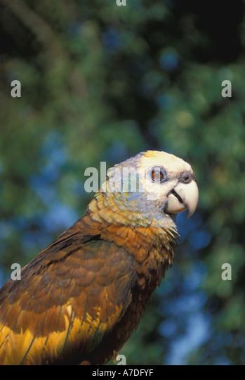 Caribbean birds st vincent parrot - Stock Image